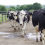 cows-in-yard