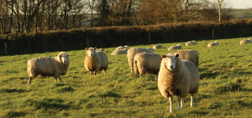 What is the use of a barren ewe?