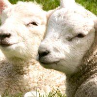 Molecare Farm Vet Sheep