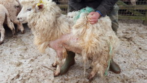 Control and prevention of sheep scab - Molecare Veterinary Services