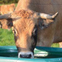 cow-2768011_960_720